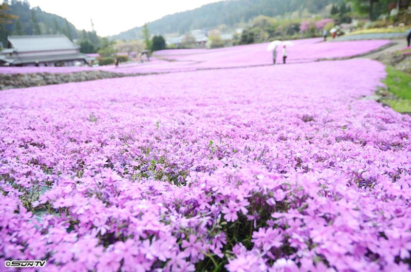 世界で一番美しい絨毯 撮影場所:兵庫県 三田 撮影者:河口千弥